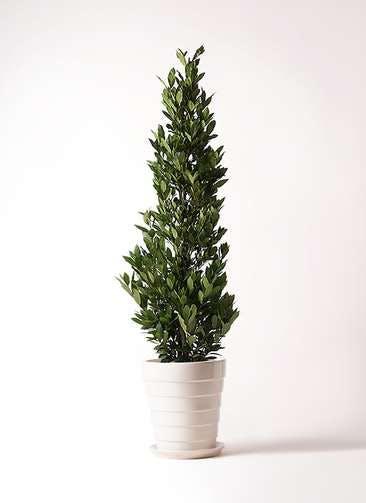 観葉植物 月桂樹 10号 サバトリア 白 付き