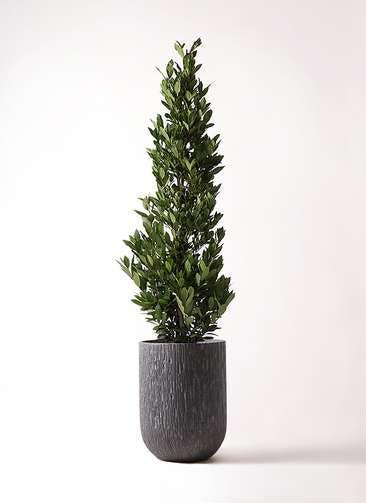 観葉植物 月桂樹 10号 カルディナトールダークグレイ 付き