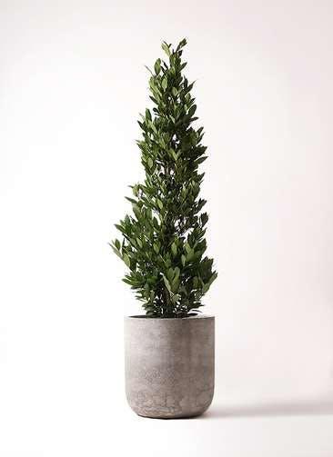 観葉植物 月桂樹 10号 エルバ 白 付き