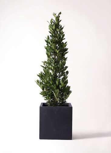 観葉植物 月桂樹 10号 ベータ キューブプランター 黒 付き