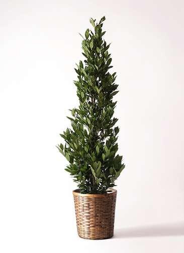 観葉植物 月桂樹 10号 竹バスケット 付き