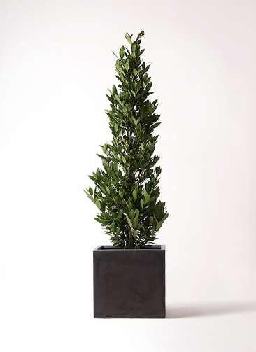 観葉植物 月桂樹 10号 ファイバークレイ キューブ 付き