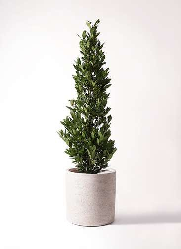 観葉植物 月桂樹 10号 サンディ シリンダー 白 付き