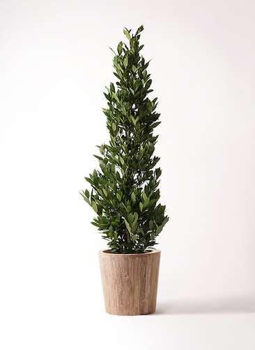観葉植物 月桂樹 10号 ウッドプランター 付き