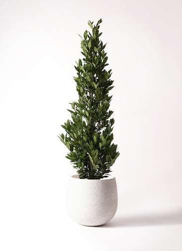観葉植物 月桂樹 10号 エコストーンwhite 付き