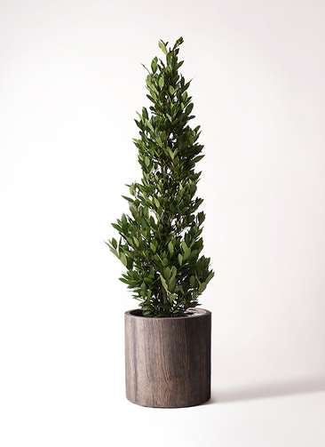 観葉植物 月桂樹 10号 アルファシリンダープランター 付き