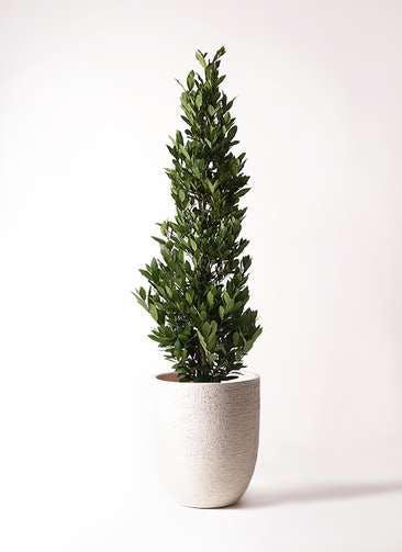 観葉植物 月桂樹 10号 ビアスアルトエッグ 白 付き