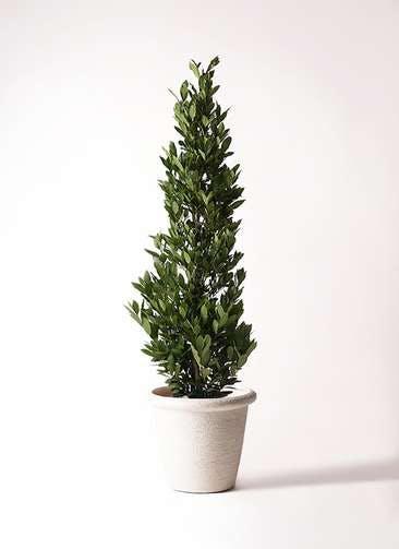 観葉植物 月桂樹 10号 ビアスリムス 白 付き