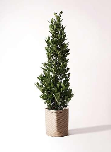 観葉植物 月桂樹 10号 リブバスケットNatural 付き