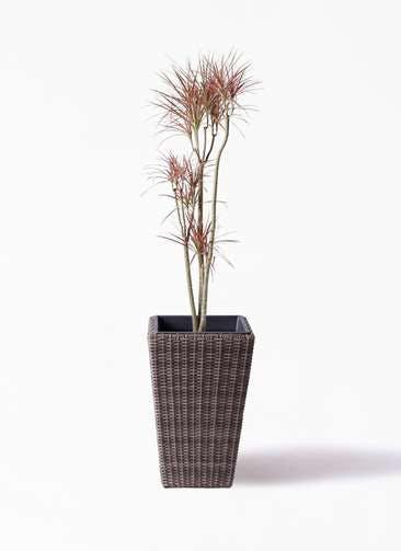 観葉植物 ドラセナ コンシンネ レインボー 8号 ストレート ウィッカーポット スクエアロング OT 茶 付き