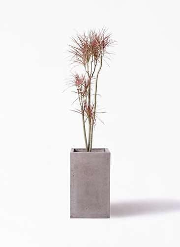観葉植物 ドラセナ コンシンネ レインボー 8号 ストレート セドナロング グレイ 付き