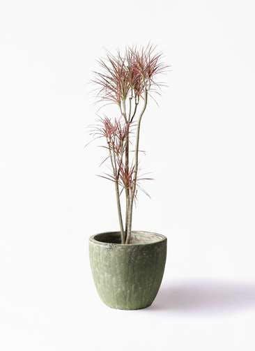 観葉植物 ドラセナ コンシンネ レインボー 8号 ストレート アビスソニアミドル 緑 付き
