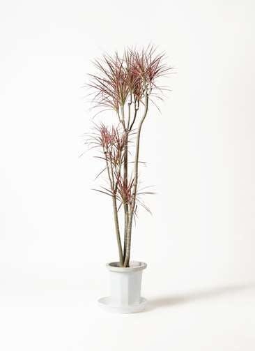 観葉植物 ドラセナ コンシンネ レインボー 8号 ストレート プラスチック鉢