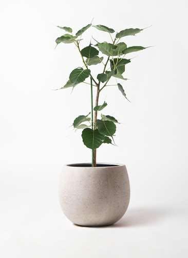 観葉植物 インドボダイジュ 8号 テラニアス ローバルーン アンティークホワイト 付き