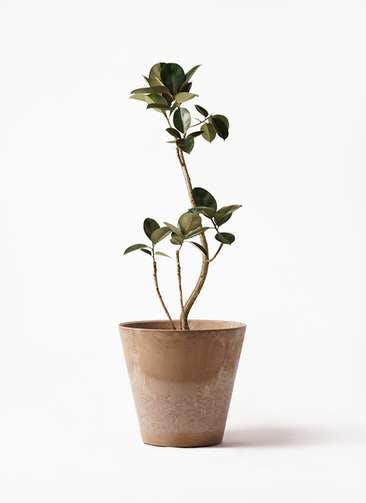 観葉植物 フィカス バーガンディ 8号 曲り アートストーン ラウンド ベージュ 付き