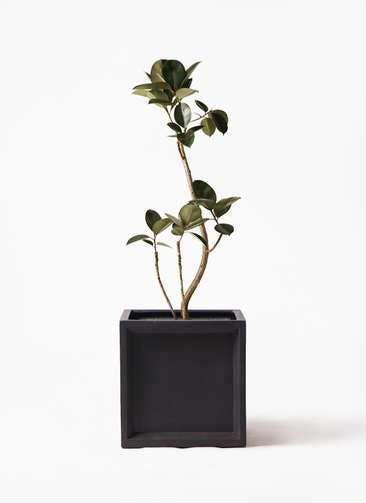 観葉植物 フィカス バーガンディ 8号 曲り ブリティッシュキューブ 付き