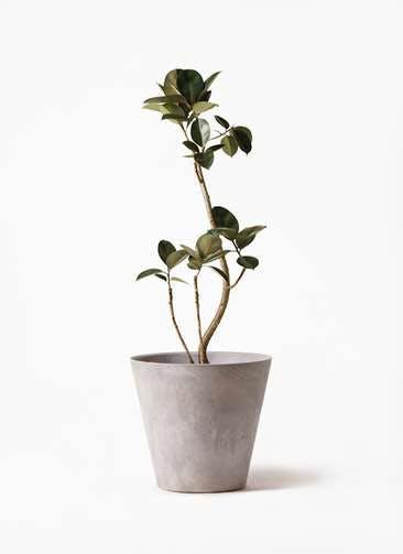 観葉植物 フィカス バーガンディ 8号 曲り アートストーン ラウンド グレー 付き