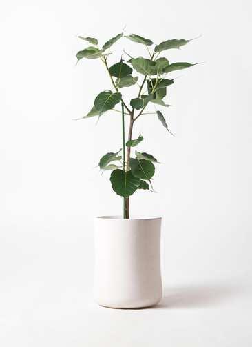 観葉植物 インドボダイジュ 8号 バスク ミドル ホワイト 付き