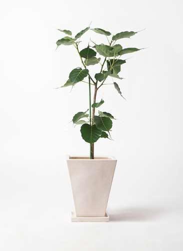 観葉植物 インドボダイジュ 8号 スクエアハット 白 付き