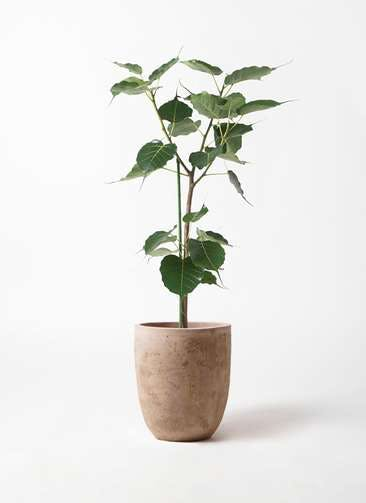 観葉植物 インドボダイジュ 8号 ルーガ アンティコ アルトエッグ 付き