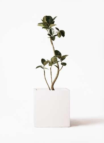観葉植物 フィカス バーガンディ 8号 曲り バスク キューブ 付き
