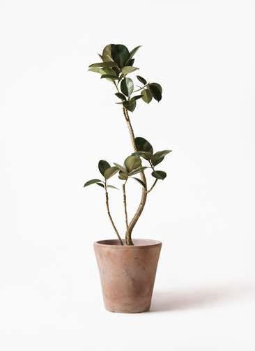 観葉植物 フィカス バーガンディ 8号 曲り ルーガ アンティコ ソリッド 付き