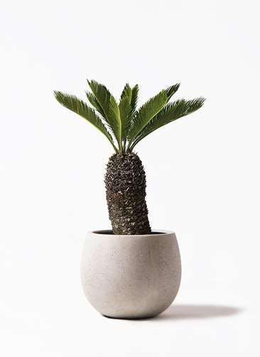 観葉植物 ソテツ 8号 テラニアス ローバルーン アンティークホワイト 付き
