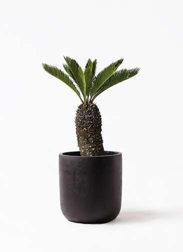 観葉植物 ソテツ 8号 エルバ 黒 付き
