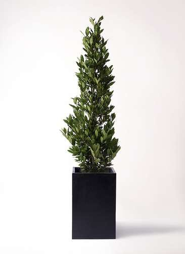 観葉植物 月桂樹 10号 セドナロング 墨 付き