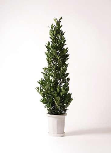 観葉植物 月桂樹 10号 プラスチック鉢