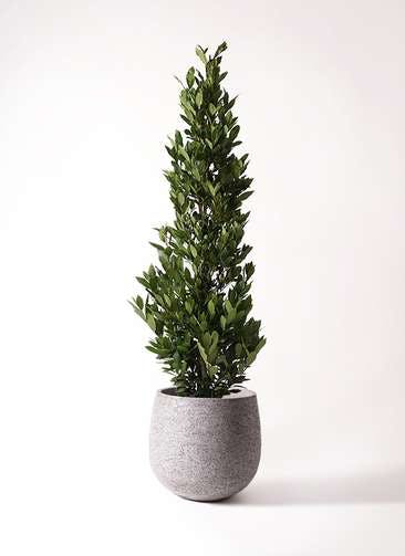 観葉植物 月桂樹 10号 エコストーンGray 付き