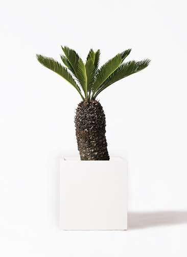 観葉植物 ソテツ 8号 バスク キューブ 付き