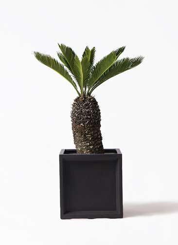 観葉植物 ソテツ 8号 ブリティッシュキューブ 付き