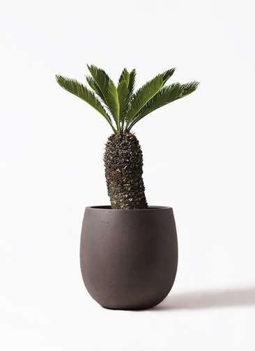 観葉植物 ソテツ 8号 テラニアス バルーン アンティークブラウン 付き