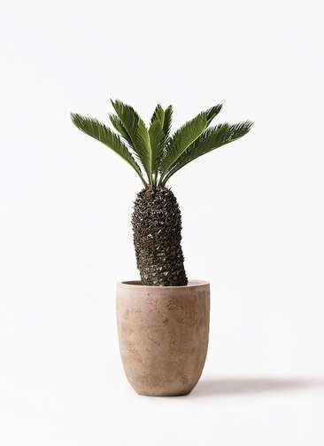 観葉植物 ソテツ 8号 ルーガ アンティコ アルトエッグ 付き