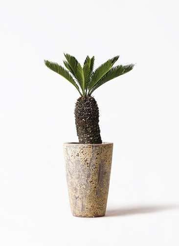 観葉植物 ソテツ 8号 アトランティス クルーシブル 付き