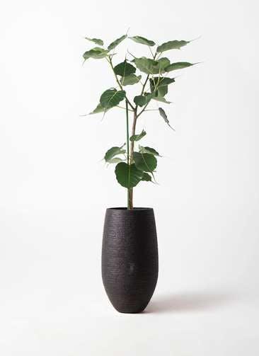 観葉植物 インドボダイジュ 8号 フォンティーヌトール 黒 付き