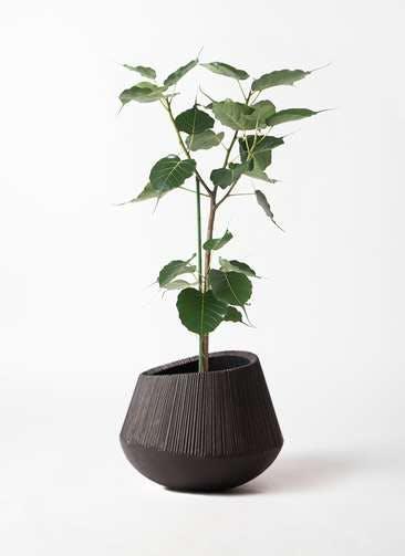観葉植物 インドボダイジュ 8号 エディラウンド 黒 付き