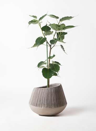 観葉植物 インドボダイジュ 8号 エディラウンド グレイ 付き
