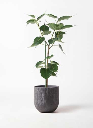 観葉植物 インドボダイジュ 8号 カルディナダークグレイ 付き