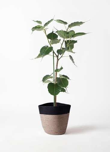 観葉植物 インドボダイジュ 8号 リブバスケットNatural and Black 付き