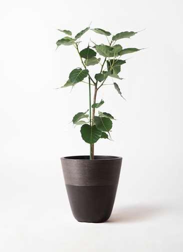 観葉植物 インドボダイジュ 8号 ジュピター 黒 付き