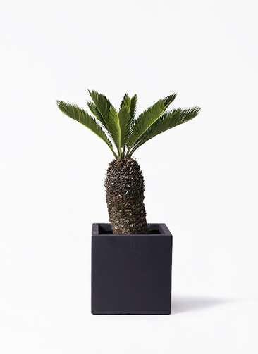 観葉植物 ソテツ 8号 ベータ キューブプランター 黒 付き