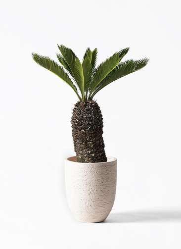 観葉植物 ソテツ 8号 ビアスアルトエッグ 白 付き
