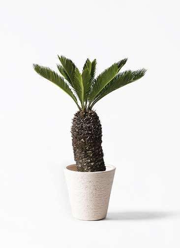 観葉植物 ソテツ 8号 ビアスソリッド 白 付き