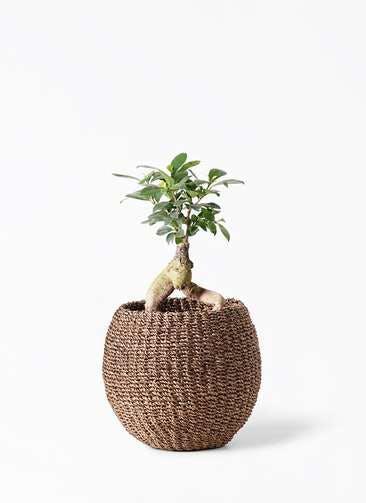 観葉植物 ガジュマル 4号 股仕立て アバカバスケット スモーク 付き