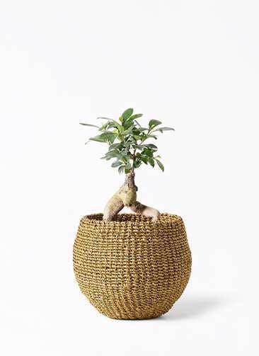 観葉植物 ガジュマル 4号 股仕立て アバカバスケット オリーブ 付き