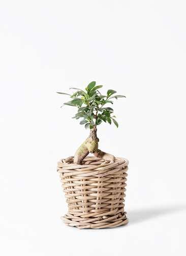 観葉植物 ガジュマル 4号 股仕立て グレイラタン 付き