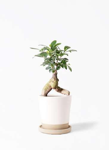 観葉植物 ガジュマル 4号 股仕立て マット グレーズ テラコッタ ホワイト 付き
