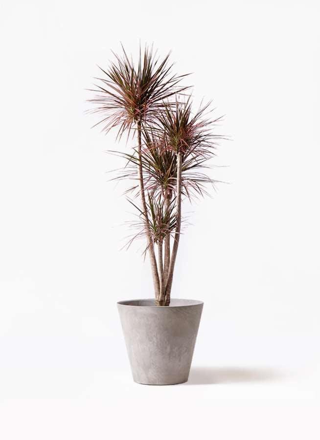 観葉植物 ドラセナ コンシンネ レインボー 10号 ストレート アートストーン ラウンド グレー 付き